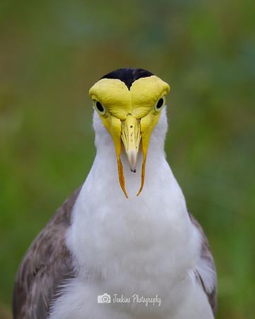 2020-08-11 Masked Lapwing At Marina East
