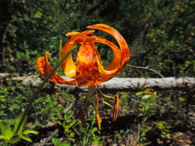 Humboldt Lily (Lilium humboldtii ssp. ocellatum)