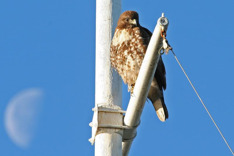Hawk, Palo Alto Baylands (Duck Pond)