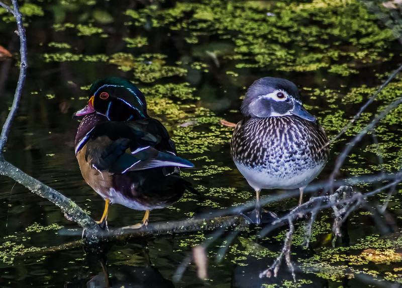 Wood Ducks at North Bay Park