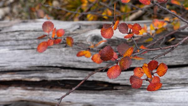 Berries Bark Lichen & Leaves