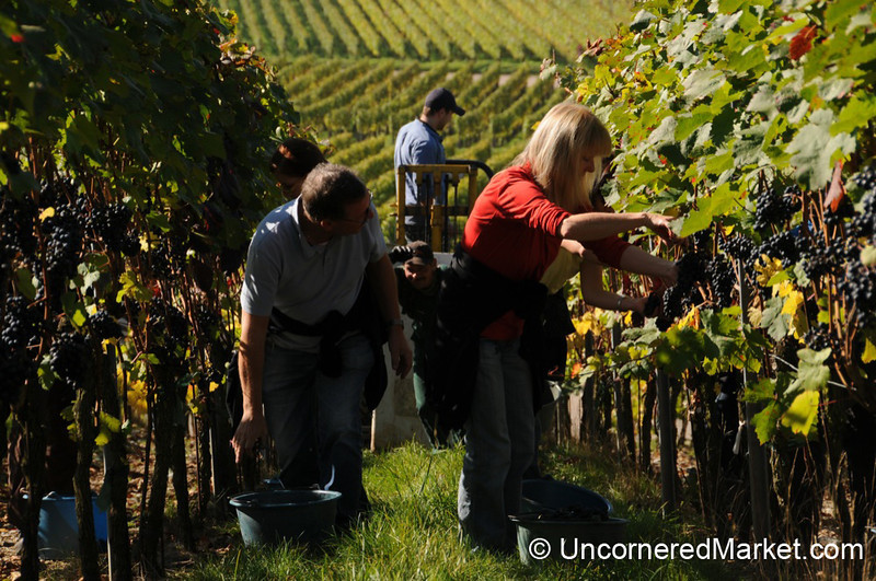 Harvest Time in the Vineyards Near Thüngersheim, Germany