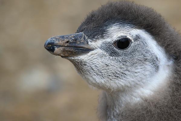 Magdalena Island Magellanic Penguins