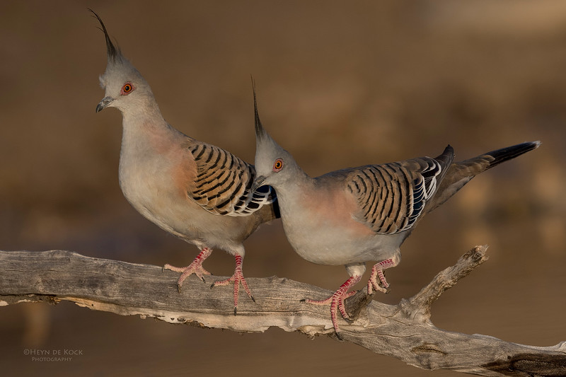 Crested Pigeon, Bowra, Cunnamulla, QLD, Aus, Sept 2017-2.jpg