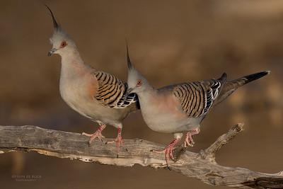 Pigeons & Doves (Columbidae)