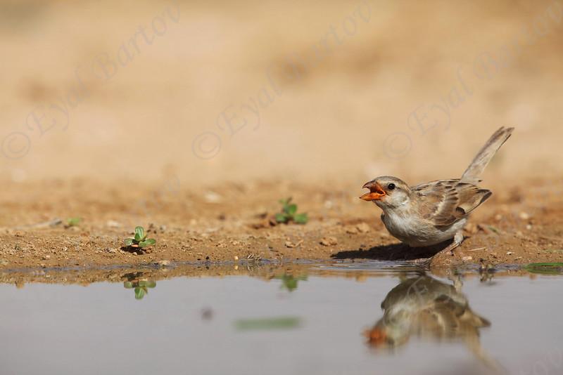 IMG_0176 House Sparrow.JPG
