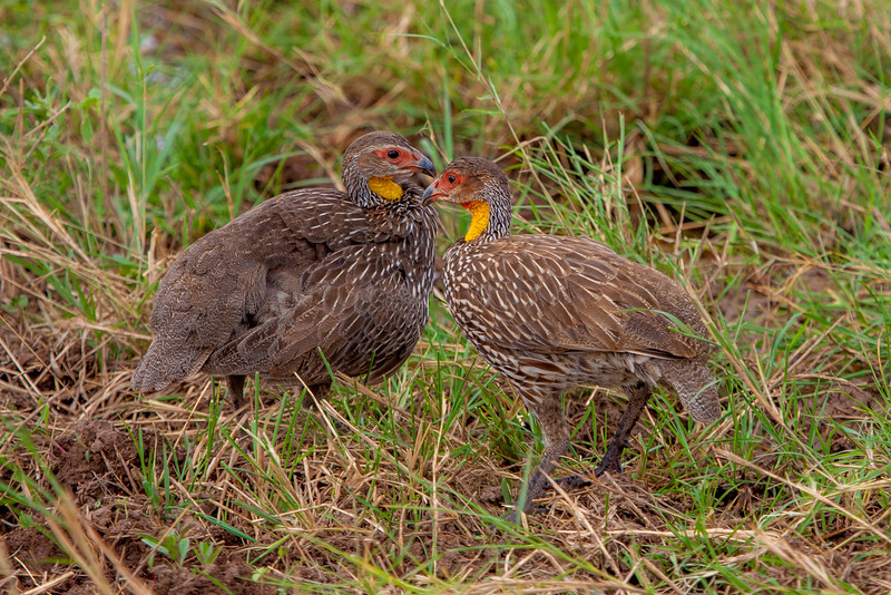 Yellow-necked Spurfowl (Pternistis leucoscepus)