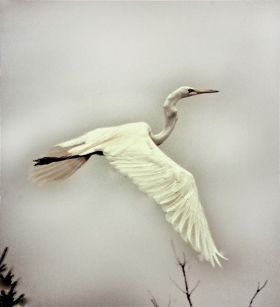 Egret thru the clouds .jpg