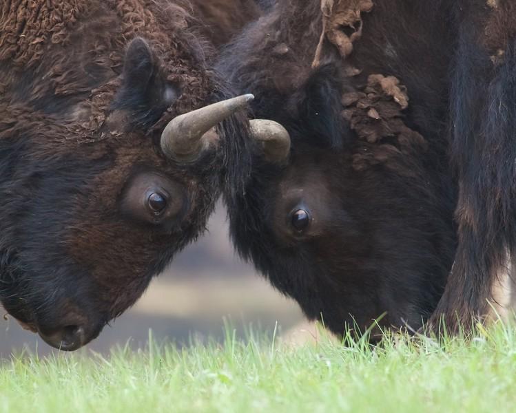 Bison Theodore Roosevelt National Park ND IMG_9465.jpg