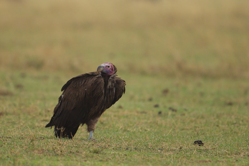 Lappet-faced Vulture - Ngorongoro Crater, Tanzania