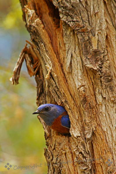 Bluebird at the Nest ~ This male Western Bluebird was taking turns with his mate, feeding the young birds in the nest cavity.  This photo shows him peeking out the nest hole before flying back out to hunt for more bugs and worms.  Yum.