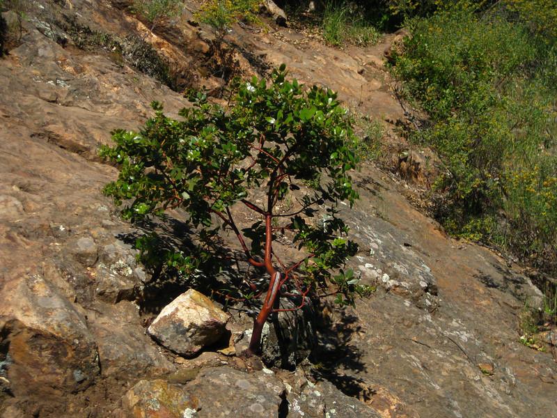 Little Manzanita tree on the trail