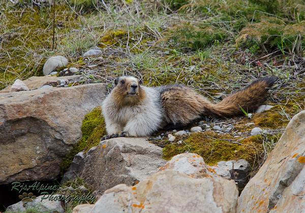 Marmots & Porcupine