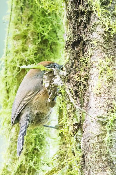 Checker-throated Antwren - Record - El Valle, Panama
