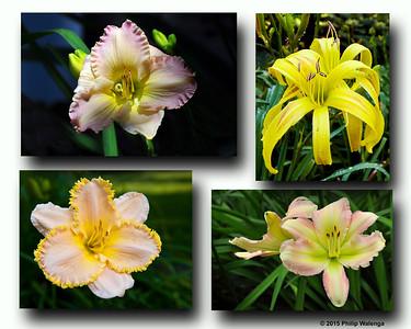 20150329 Four Daylilies FINAL v2
