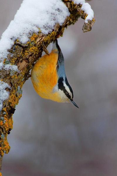 Chickdee, Nuthatch, Titmouse