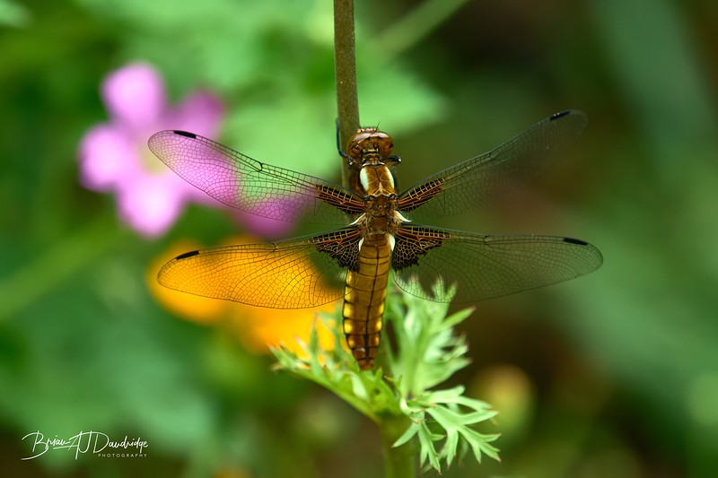 Broad-bodied Chaser-0252_DxO - 2-37 pm.jpg