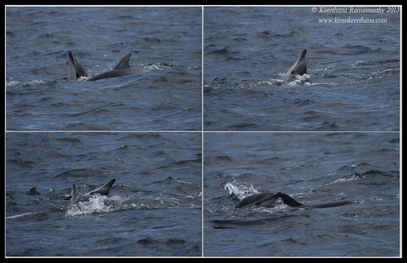 Common dolphins mating, Whale Watching trip, San Diego County, California, September 2013