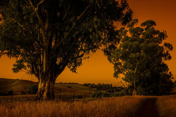 Arastradero Preserve - Eucalyptus April 2013