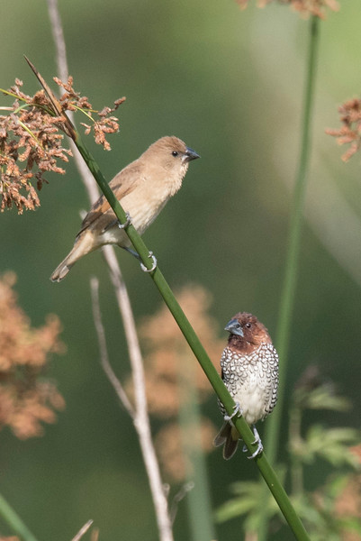 Pair of Scaly-breasted Munia perching in California Bulrushes along the shoreline of Talbert Lake