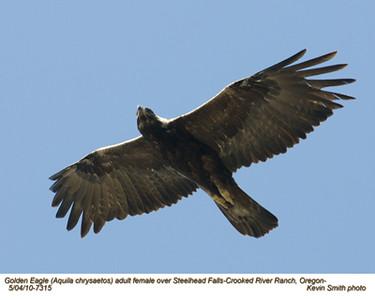 Golden EagleF7315.jpg