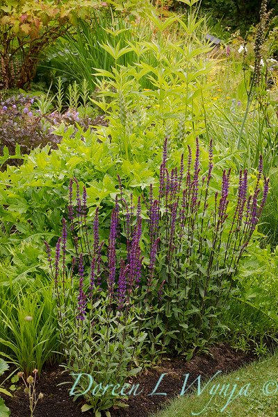 Salvia nemorosa 'Caradonna'_3937.jpg