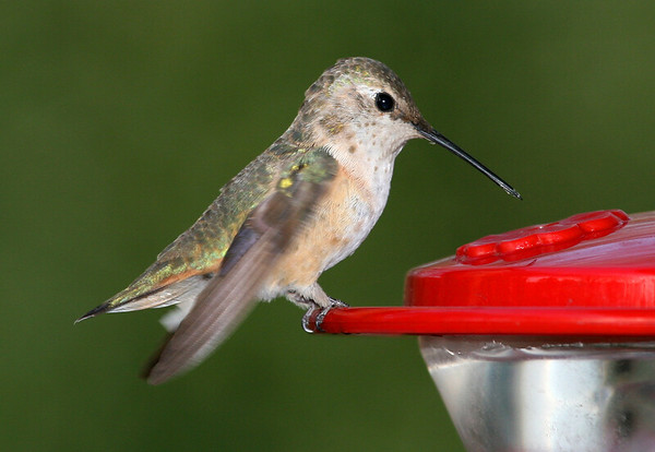 Rufous Hummingbird 2 PSE IMG_4109