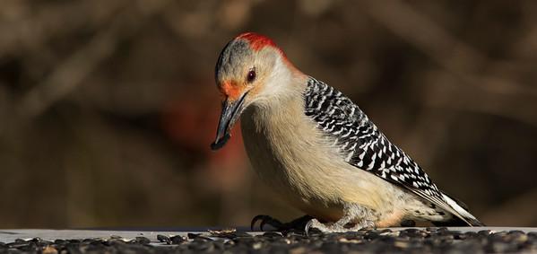 Southern Illinois Birds