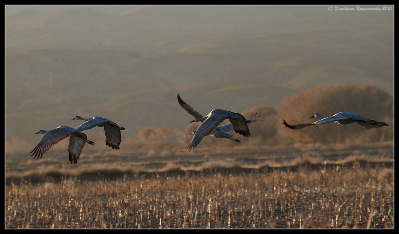 Sandhill Crane heading back to the lake in the evening, Bosque Del Apache, Socorro, New Mexico, November 2010