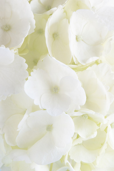 for print12x18WhiteHydrangeaJan2018.jpg