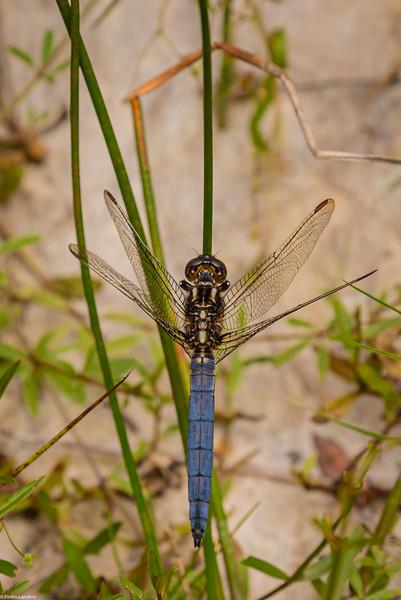 Keeled Skimmer Dragonfly