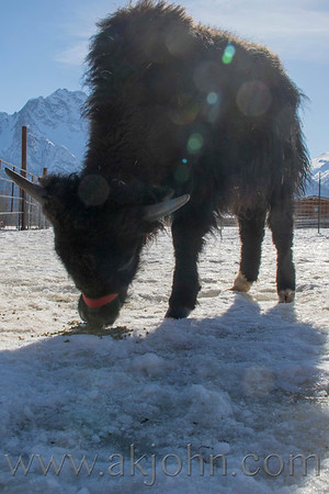 APPA (aka: Spot) A NEW BABY YAK AT  THE REINDEER FARM
