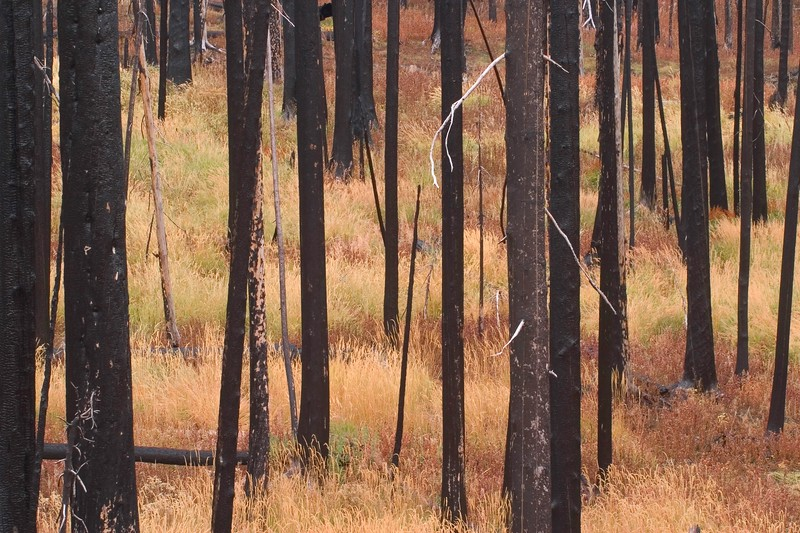 Burned Trees Colored Grass Yellowstone 765_6582.jpg