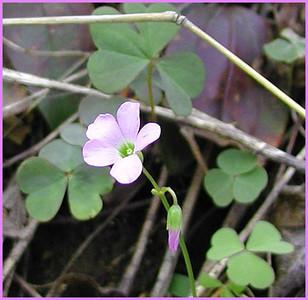 Violet Wood Sorrel Royal Blue WMA TN 4/28/07