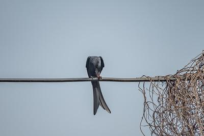 Black Drongo [Dicrurus macrocercus]