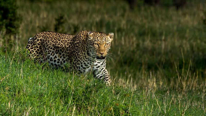 Leopards-0103.jpg