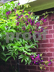 native-wisteria-is-much-more-controllable-than-chinese-wisteria-and-just-as-pretty