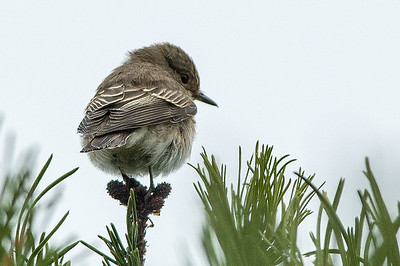 Kungsfåglar Gärdsmygar Flugsnappare