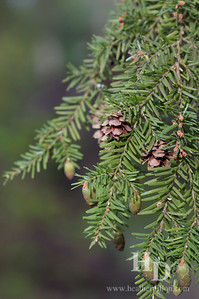 2010-05 Pine
