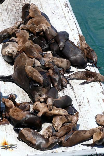 Sea Lions by Municipal Wharf. Santa Cruz