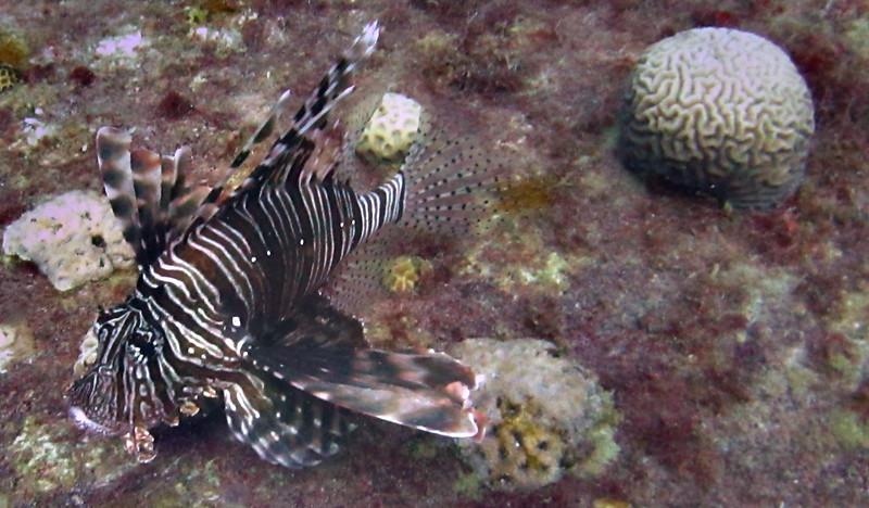 Lion fish, El Mina
