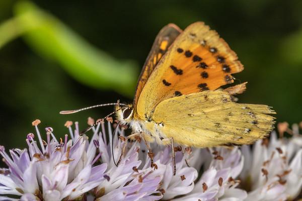 Genus Lycaena - Unidentified copper butterflies
