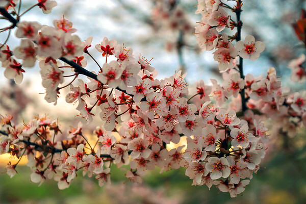 CherryBlossomBackyardErieCO-002