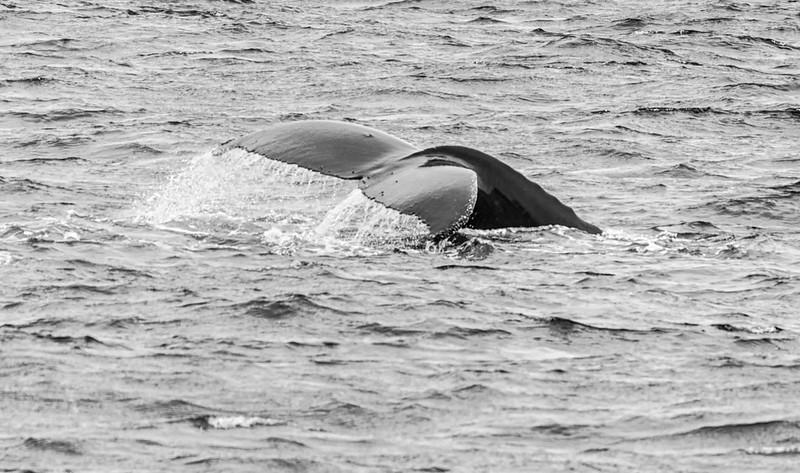 Whales_Hydrurga Rocks_Antarctica-5.jpg