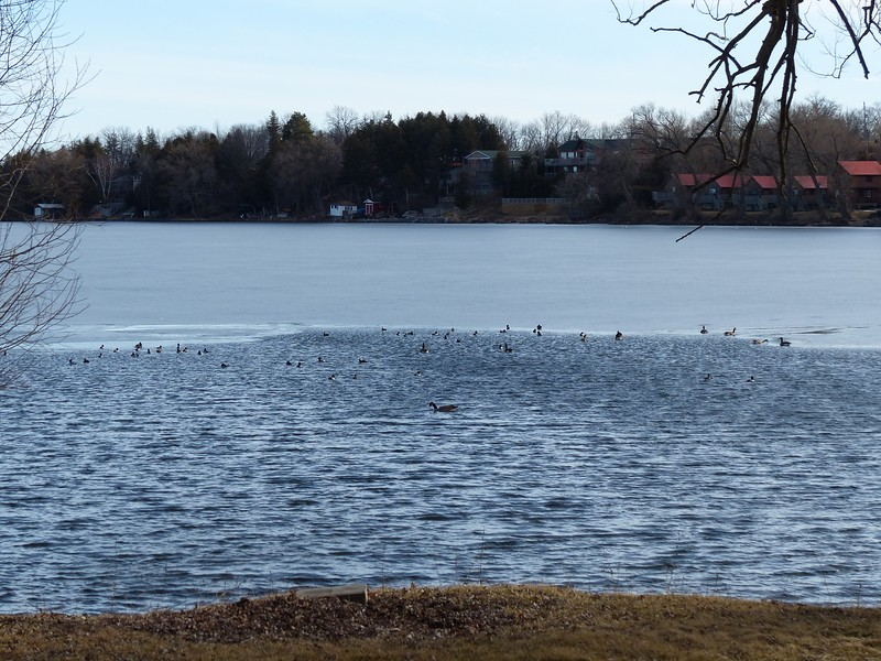 Open water near shore at Harwood attracted several waterfowl species