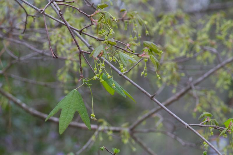 Acer leucoderme - Chalk Maple