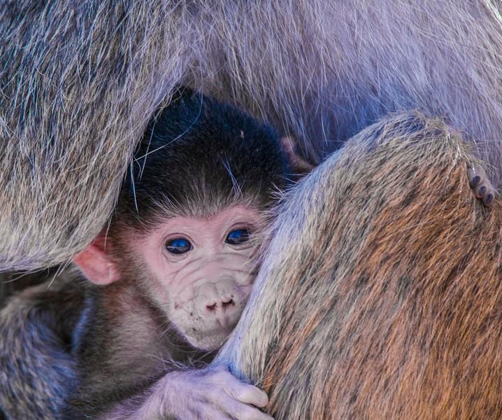 Baboons-6.jpg