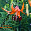 first Tiger Lily of the season has opened