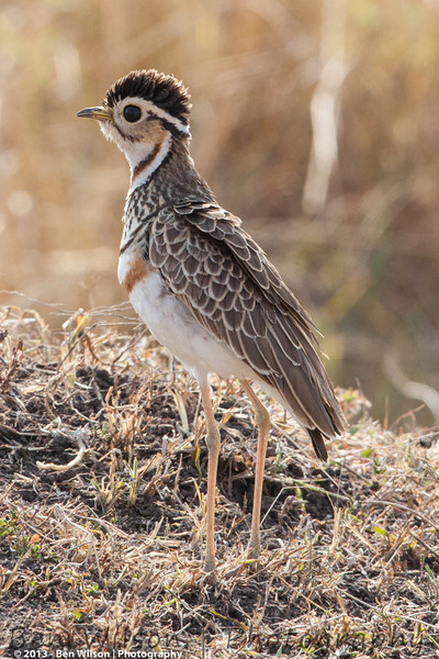 Heuglin's Courser (Three-banded Courser)