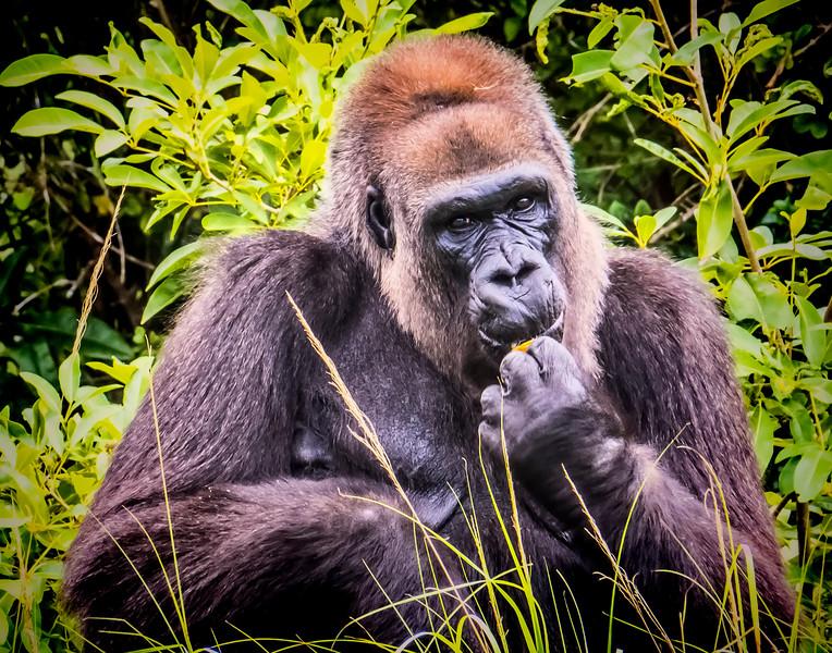 gorilla7.jpg